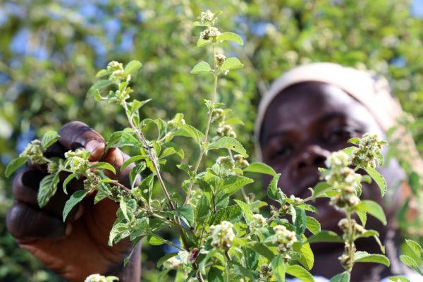 Picking-Lippia-javanica-Fever-Tea-tree-leaves